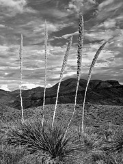Sotol, Big Bend National Park