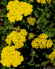Achillea 'Moonshine' Yarrow (Jim Frazier) Tags: 2019 20190602cantigny 2019cantigny moonshine yarrow achillea beautiful beauty biota bloom blooming blossoming blossoms bluesky botanic botanicgardens botanicalgardens cantigny cantignypark closeup detail donehighrestocantigny donehighrestolizcantigny dupage dupagecounty flora floral flowering flowers forbs formalgarden gardening gardens horticulture il illinois jimfraziercom june leaves life living museums natural nature parks perennials plants preserves publicgardens q4 ruleofthirds spring study sunny texture tightcrop triangles volunteer volunteering wheaton yellow