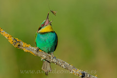 Merops-apiaster-Abejaruco europeo-03 (amadeomolina) Tags: fotografíadeaves meropsapiaster abejarucoeuropeo