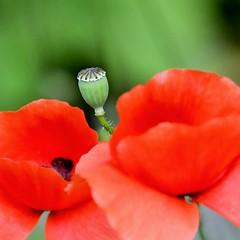 Coquelicots - Papaver rhoeas - Poppies (pablo 2011) Tags: nikond500 nikkor200500mm toulouse nature wildlife viesauvage patrickblondel jardinraymondvi macro closeup coquelicot papaverrhoeas poppy fleur flower rouge red