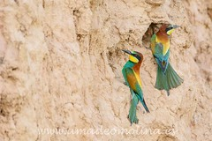 Merops-apiaster-Abejaruco europeo-02 (amadeomolina) Tags: meropsapiaster abejarucoeuropeo fotografíadeaves