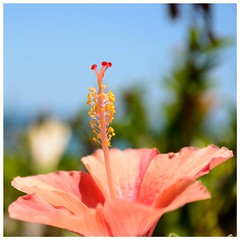 Hibiscus (.Guillermo.) Tags: flor flower nature naturaleza