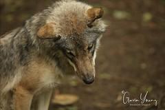 Eurasian Grey Wolf (Gavin E Young) Tags: wolf grey dog k9 canine hound canon 5ds 400mm