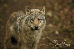 Eurasian Grey Wolf (Gavin E Young) Tags: wolf grey dog k9 canine hound canon 5ds 400mm ngc