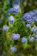 Ceanothus (judy dean) Tags: garden judydean june 35mm flowers 2019 blue shrub ceanothus textured ps