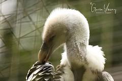 vulture (Gavin E Young) Tags: bird birds feather beak canon 5ds 400mm
