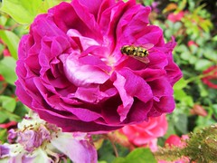 IMG_2166 (belight7) Tags: nature uk england walk park flowers pink