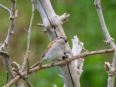 Red-backed Shrike (kc02photos) Tags: redbackedshrike laniuscollurio wintertononsea norfolk england uk birdphotography
