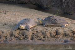 Flapshell Turtle (Ben Locke.) Tags: flapshellturtle turtle reptile srilanka wild wildlife nature