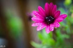 _DSC8568 (whotneckst) Tags: nikond700 nikon50mmf14afd flowers