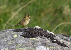 Meadow Pipit (Treflyn) Tags: meadow pipit bird mountain snowdonia juvenile half way up tryfan north wales