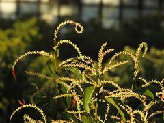 Floração do pajeú (Alexandre Marino) Tags: pajeú pauformiga flores árvores flower trees nature natureza
