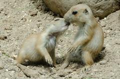 Love (gaiabarbarino) Tags: animali cane della prateria parco natura viva cute
