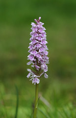 Heath Spotted Orchid - Dactylorhiza maculata (favmark1) Tags: kent orchids kentorchids britishorchids wildorchids heathspottedorchids dactylorhizamaculata