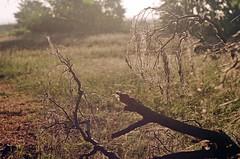 2019.06.09 Leica R5 Vario-Elmar 80-200mm f4 fresh film 04-2021 Kodak Gold ISO200 Lithuania Pervalka (25) (nefotografas) Tags: 20190609 leicar5 varioelmar80200mm f4 freshfilm 042021 kodakgold iso200 lithuania pervalka sunrise