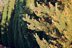 2019.06.09 Leica R5 Vario-Elmar 80-200mm f4 fresh film 04-2021 Kodak Gold ISO200 Lithuania Pervalka (16) (nefotografas) Tags: 20190609 leicar5 varioelmar80200mm f4 freshfilm 042021 kodakgold iso200 lithuania pervalka sunrise
