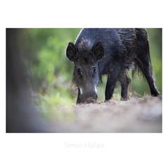 Sanglier 2 (simon Hlls) Tags: sanglier sauvage forêt sable pin charentemaritime nouvelle aquitaine