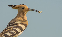 Dinner (Torok_Bea) Tags: búbosbanka upupaepops beautiful bird birds nikon nikond7200 natur nature nationalpark jászság jászkisér wonderful wildanimal wild wildlife vacsora amazing awesome tamron150600 eurasianhoopoe upupa hoopoe
