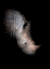 Rhinocéros (julien.lalanne8) Tags: safari africa uganda animal animals wild wildlife afrique ouganda portrait black light