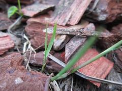 Slowworm (anguis fragilis) (greg_998) Tags: slowworm orvet wildlife reptile