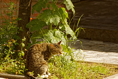 Une bonne herbe ! - A good grass ! (p.franche malade - Sick) Tags: sony sonyalpha65 dxo photolab2 bruxelles brussel brussels belgium belgique belgïe europe pfranche pascalfranche schaerbeek schaarbeek chat animal nature tournédanslarue instantané sauvage printemps coquelicots arbre cat shotinthestreet snapshot wild spring poppies tree