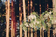 2019.06.09 Leica R5 Vario-Elmar 80-200mm f4 fresh film 04-2021 Kodak Gold ISO200 Lithuania Pervalka (32) (nefotografas) Tags: 20190609 leicar5 varioelmar80200mm f4 freshfilm 042021 kodakgold iso200 lithuania pervalka sunrise