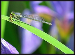 IMG_0479 Dining Alone 6-17-19 (arkansas traveler) Tags: damselfly hoverfly bichos bugs insects flowers iris zoom telephoto bokeh bokehlicious nature naturewatcher natureartphotography abstract
