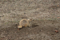 Prairie dog #2 at Theodore Roosevelt National Park (Hazboy) Tags: hazboy hazboy1 north dakota teddy theodore roosevelt national park april 2019 west western us usa america
