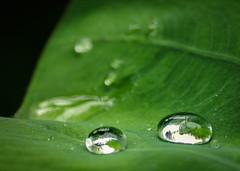 Bubble within a bubble (joshdgeorge7) Tags: droplets water drops biome eden project dome domes bubbles h20 leafs rainforest tropical tropics leaves green saturation moisture rains macro close sigma pentax ks2 pentaxian ricoh