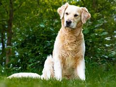 DSC05498 (Iso-Star) Tags: goldenretriever drausen outside natur nature hund dog