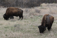 Two buffaloes inside Teddy Roosevelt NP, North Dakota (Hazboy) Tags: hazboy hazboy1 north dakota teddy theodore roosevelt national park april 2019 west western us usa america