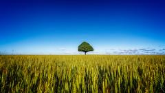 Fields of gold (J.v.V.) Tags: tree yellow landscape gold grain single cinematic field fe1635mmf4zaoss sonya7iii jvv composition lonely nature france europe frankrijk alone beaugency