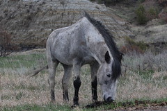 The gray horse inside Teddy Roosevelt NP, North Dakota (Hazboy) Tags: hazboy hazboy1 north dakota teddy theodore roosevelt national park april 2019 west western us usa america