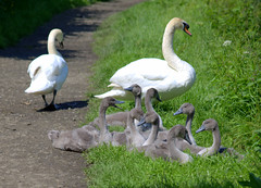 Young swan family group on the canal towpath at Preston (Tony Worrall) Tags: canal sunlit outdoors swans birds cute young baby small grey cygnets nature natural group family haslampark park towpath walkway preston lancs lancashire city welovethenorth nw northwest north update place location uk england visit area attraction open stream tour country item greatbritain britain english british gb capture buy stock sell sale outside caught photo shoot shot picture captured ilobsterit instragram photosofpreston ashtononribble ashton