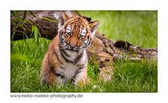 Tigerbaby (Heiko Röbke) Tags: de canon100400mmf4556lisiiusm tiger nature cat tigerbaby natur animal katze canon5dmkiv hannover tierpark zoo erlebniszoohannover 2019 lightroom fauna katzenbild