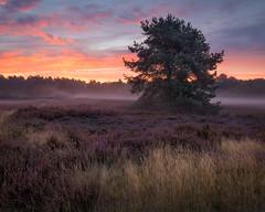 Sonnenaufgang an der Westruper Heide (wiscmic) Tags: sky nature fog clouds germany landscape deutschland nebel sommer natur himmel nrw landschaft bäume baum nordrheinwestfalen heide haltern nsg trees summer sun tree sunrise wolken sonne sonnenaufgang westruperheide