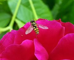 Schwebfliege (claudine6677) Tags: schwebfliege insekten
