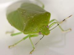 green stink bug (ophis) Tags: hemiptera heteroptera pentatomomorpha pentatomoidea pentatomidae pentatominae nezarini chinavia chinaviahilaris greenstinkbug