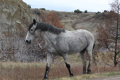 A wild horse in Teddy Roosevelt NP, North Dakota (Hazboy) Tags: park usa west us teddy north roosevelt national western april dakota theodore 2019 hazboy hazboy1 america horse grey gray