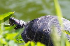 Turtle (Dwine76) Tags: sanfrancisco trip turtle reptile wildlife amphibian stowlake