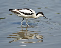 Avocet (earlyalan90 away awhile) Tags: lake bird washington feeding feathers wetlands trust mudflats plumage wildfowl avocet wader nature wildlife birding tyne wear ornithology avian uk england united kingdom rspb wwwt photography lens nikon zoom d700 european