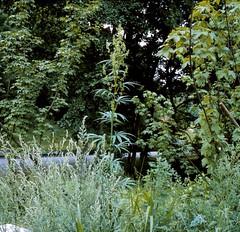 Cannabis sativa L. Hanf Cannabis (Spiranthes2013) Tags: pflanze pflanzendias plantae pflanzen angiospermen angiosperms eudicots eudicosiden rosiden rosids kfwolfstetter deutschland germany diaarchiv diascan scan unterfranken lowerfranconia lkmiltenberg 1991 becker bayern bavaria 6x6 6x6dias nature natur wildwachsendepflanzendeutschlands cannabaceae rosales rosenartige hanfgewächse hanf cannabis