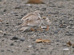 Piping Plover & Chicks, Western Beach (Bill Bunn) Tags: pipingplovers scarborough maine