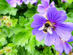 Tewkesbury Abbey Gardens (Phizzychick!) Tags: tewkesbury abbey worship flowers insect bee