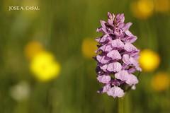 ORQUÍDEA DE LOS ARROYOS (Jose A. Casal) Tags: orquídea de los arroyos dactylorhiza elata orchidaceae
