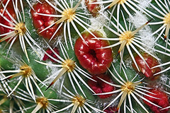 Flores de cato (cacto) no Brasil! :) (Zéza Lemos) Tags: cato cacto cactos plantas planta jardim jardins jardineiro flores flor flowers espinhos portugal algarve vilamoura
