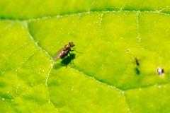 Bug crawl this morning (REGOR NOTPUL) Tags: fly fishfly pug moth bee