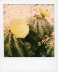 Hollywood Spring - Cactus Flowers 2 (tobysx70) Tags: polaroid originals color 600 instant film slr680 hollywood spring cactus flowers beachwood drive canyon hills los angeles la california ca barrel flower bloom plant succulent yellow green cactaceae bokeh toby hancock photography