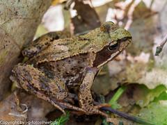 Moor Frog (xrxss15) Tags: amphibians amphibien animalia animals estland estonia europe frogs frösche moorfrog nationalparksoomaa ranaarvalis ranidae ripariantruefrogs soomaarahvuspark tiere