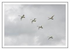 Envolée de cygnes (Christ.Forest) Tags: cygne swan vol blancs bec plumes plumage 5cygnes nikon d610 150600 tamron